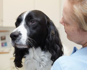 Springer cross Labrador at vets