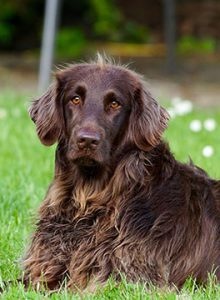 Brown dog lying on the grass